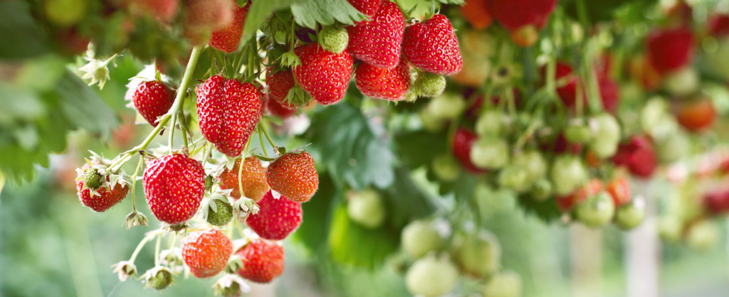 What Fruit Can Grow in Iowa - strawberries. Wallace
