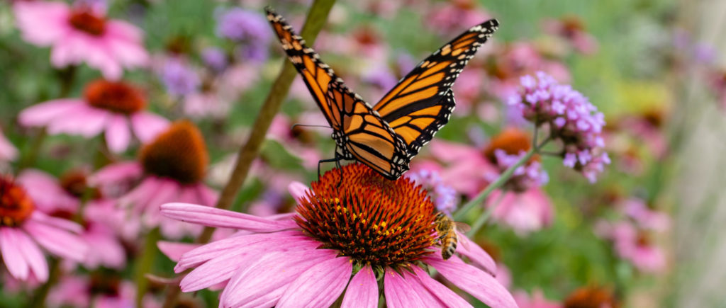 Monarch butterfly and bee. Wallace. Pollinator-Friendly Perennials