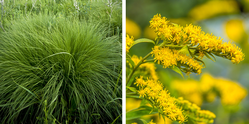 dropseed-goldenrod-wallaces