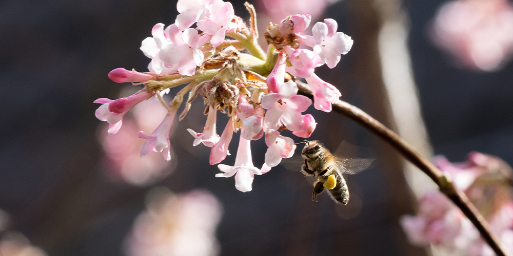 bee pollinating pink flowers: Wallace's Garden Center