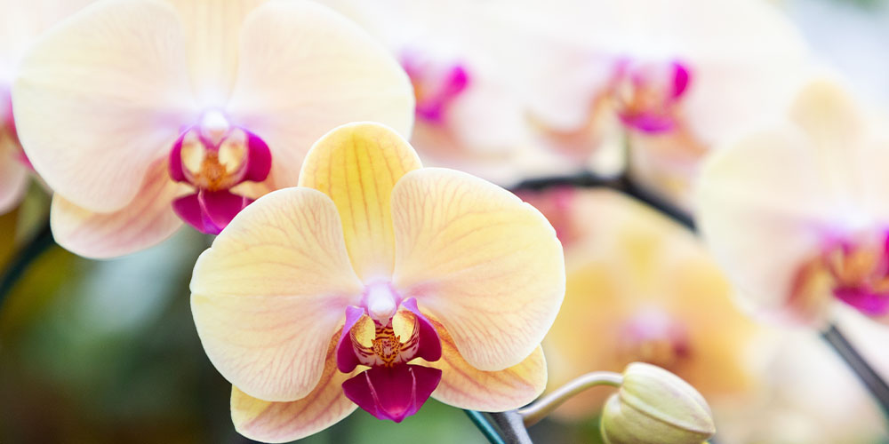 Yellow Moth Orchid Wallace's Wallace's Garden Center