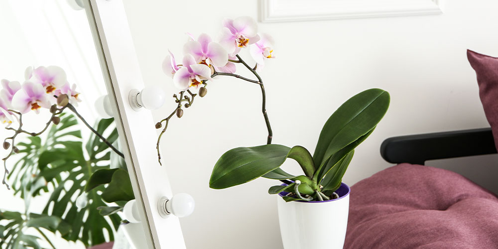 pink and white moth orchid on table
