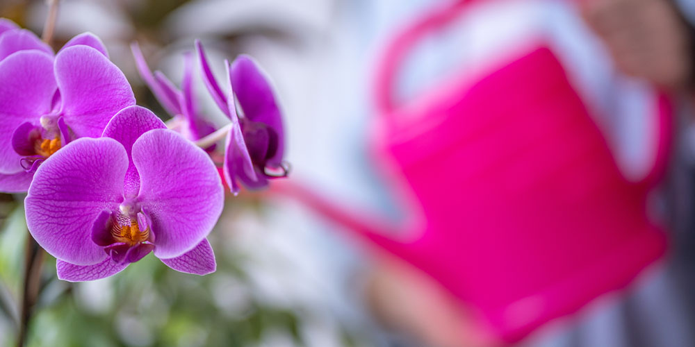 purple moth orchid focused and watering can in background