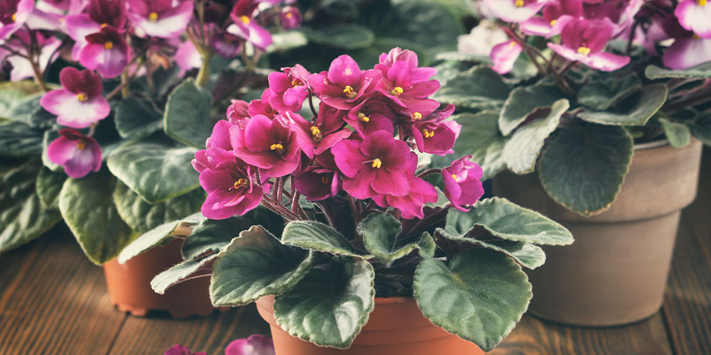 Wallace's Garden Center trio of pink blooming African violets