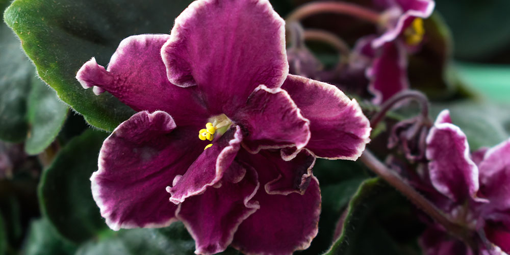 purple and white edged close up of African violet bloom