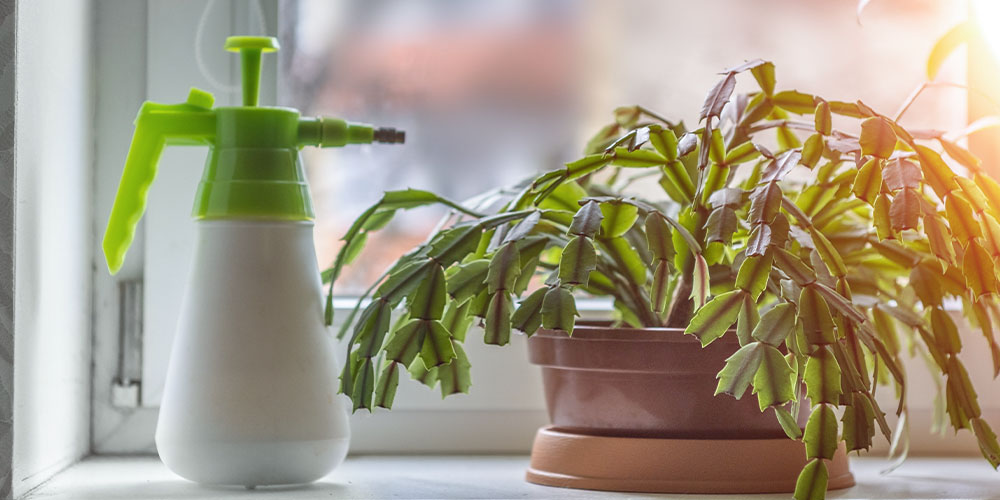 Christmas cactus by window with mister