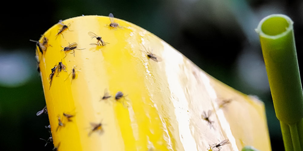 fungus gnats on sticky traps