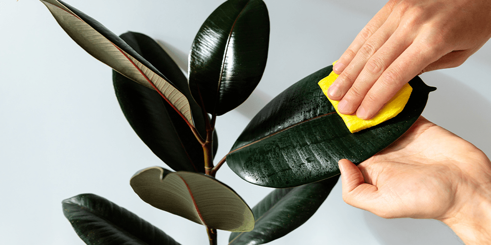 wiping down rubber plant for pests Wallace's Garden Center