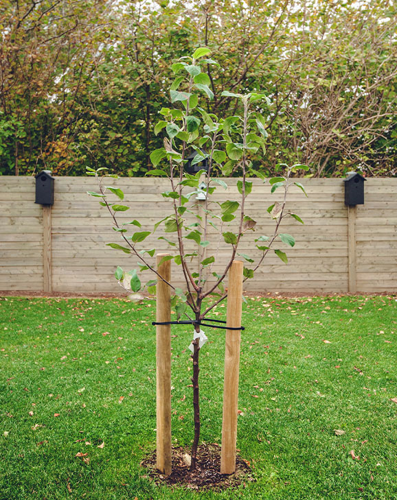 young fruit tree
