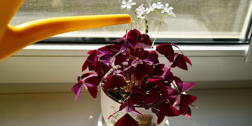 purple oxalis plant being watered