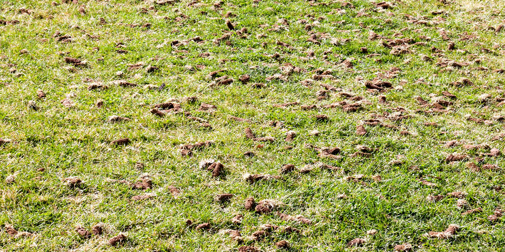 soil plugs on grass from aeration