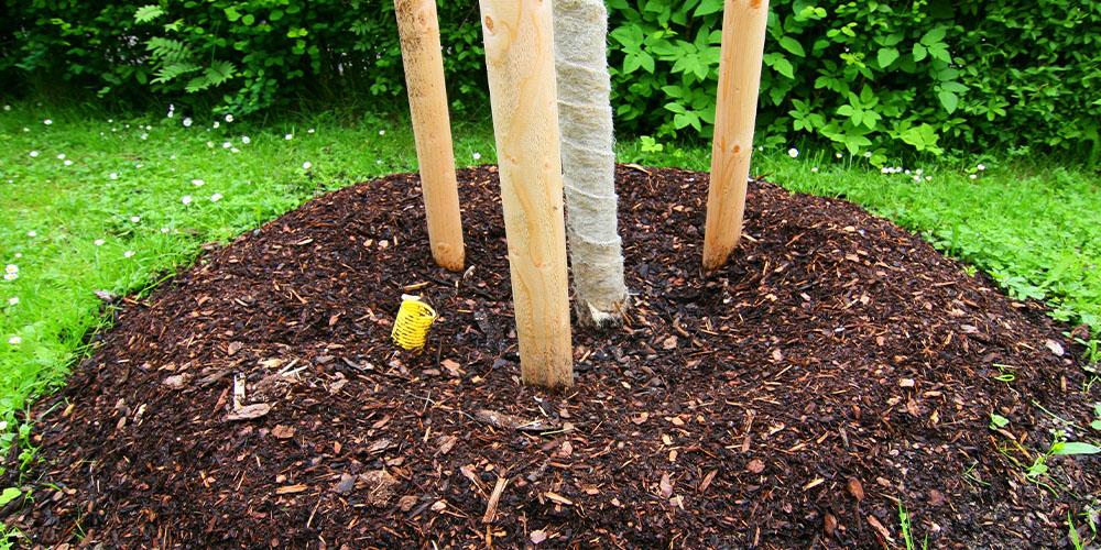 mulched base of tree
