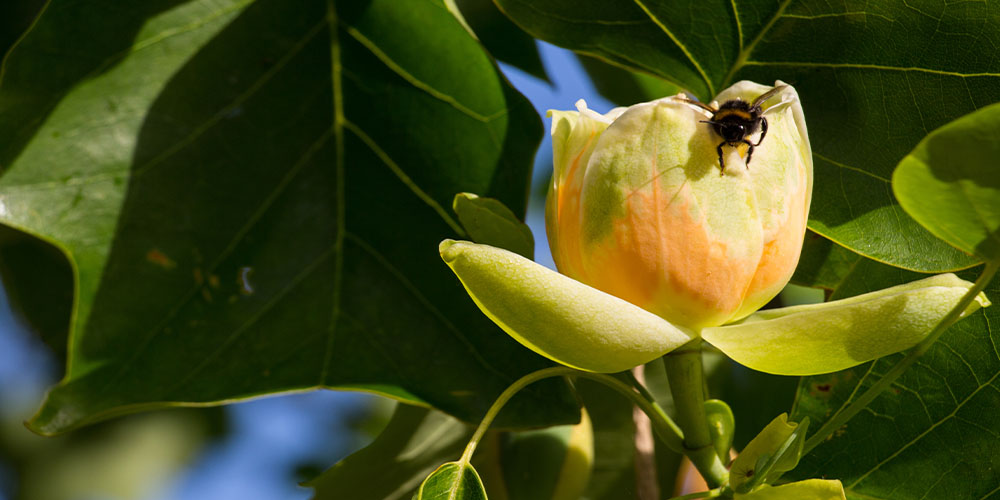 tulip tree bloom with bee on it
